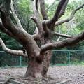 写真: タコの足の様な枝振りのクスノキ