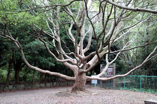 美しい樹形の大きなクスノキ