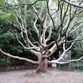 写真: 美しい樹形の大きなクスノキ
