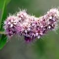 ホザキシモツケの淡紅色の花