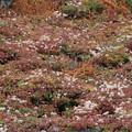 チングルマの綿毛の群生