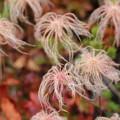 写真: チングルマの綿毛