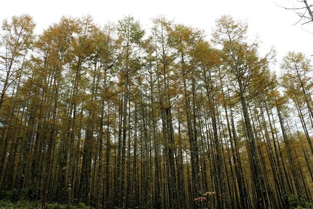 黄葉の落葉松林