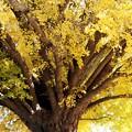 写真: いちょうの枝四方八方へ