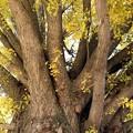 写真: 大いちょうの枝張り