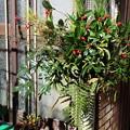 写真: 我が家の門松飾り