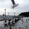 写真: 竹島海岸に飛び回るユリカモメ
