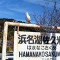 写真: 「浜名湖佐久米駅」標にもユリカモメ
