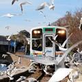 写真: 電車を迎えるユリカモメ