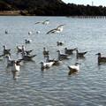 写真: 奥浜名湖のユリカモメ