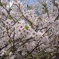 Photos: 17年4月12日の桜1