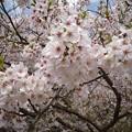 Photos: 17年4月12日の桜2