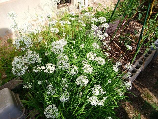 満開の韮の花