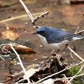写真: ♪青い鳥コルリ