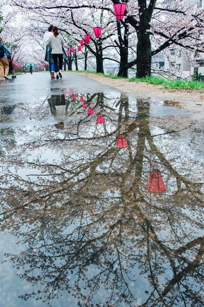 写真: 雨櫻