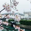 写真: 畔櫻