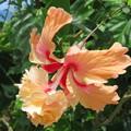 写真: オレンジフラミンゴ