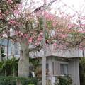 写真: トックリキワタのあるお家