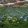 写真: 紫陽花の斜面