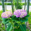 写真: 竹と紫陽花1