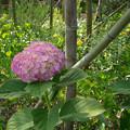 写真: 竹と紫陽花2