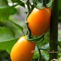Photos: 初収穫イタリアンプラムオレンジ2011.06.22自宅