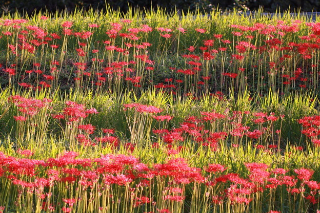 明日香村の彼岸花