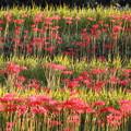 写真: 明日香村の彼岸花