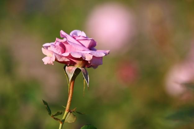 写真: バラ、スイートムーン