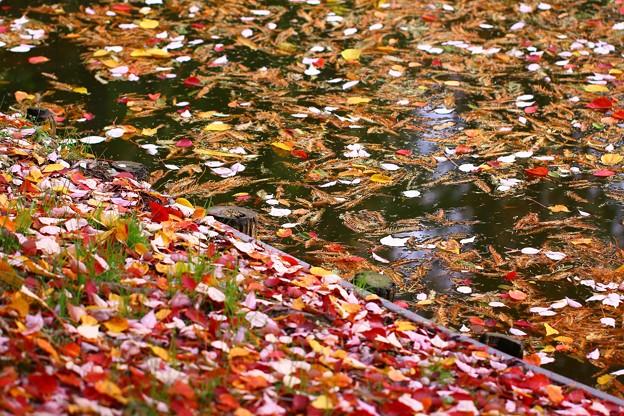写真: 池の落ち葉~