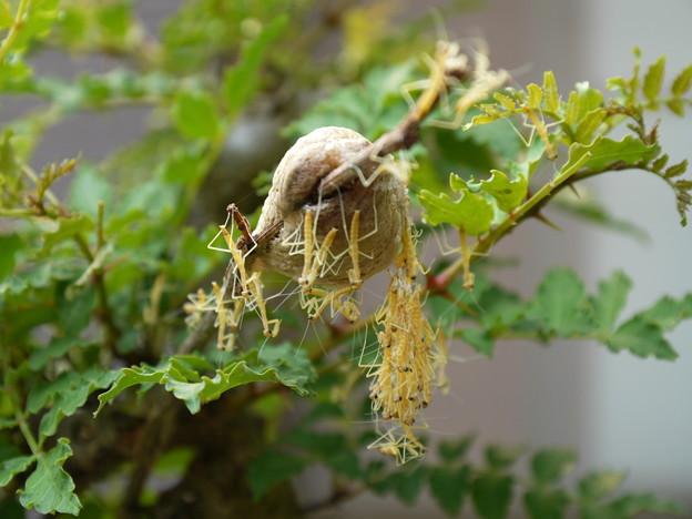 写真: カマキリの孵化