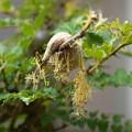 Photos: カマキリの孵化