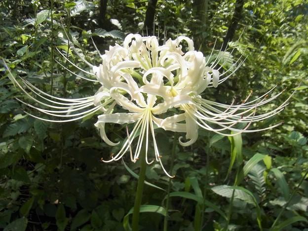 写真: 白い彼岸花