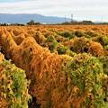 写真: 長芋の葉の紅葉