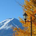 写真: 黄金イチョウと街灯と。