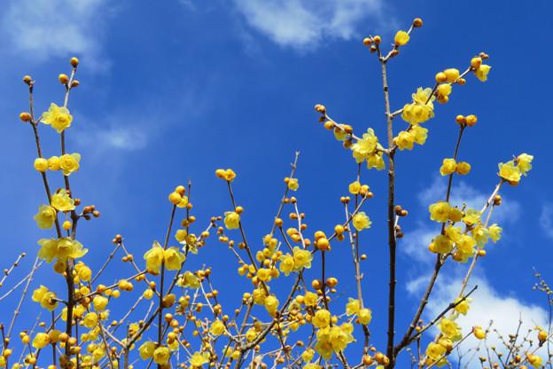 新春に香る花。