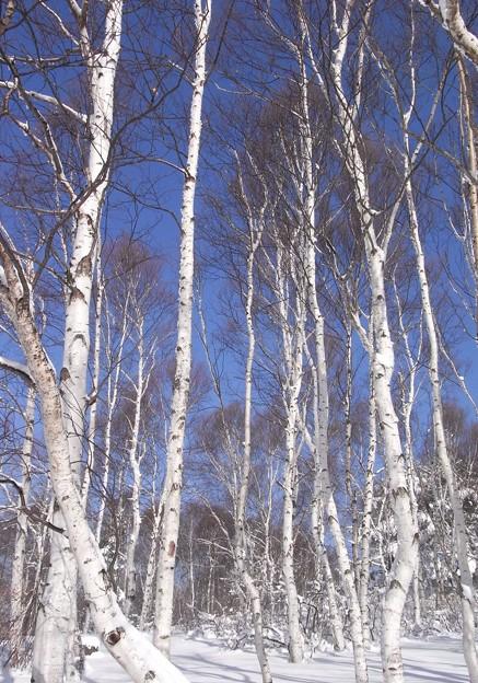 真冬の白樺林。