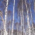 写真: 真冬の白樺林。