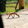 Skinny Fox