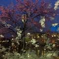夜桜…*****