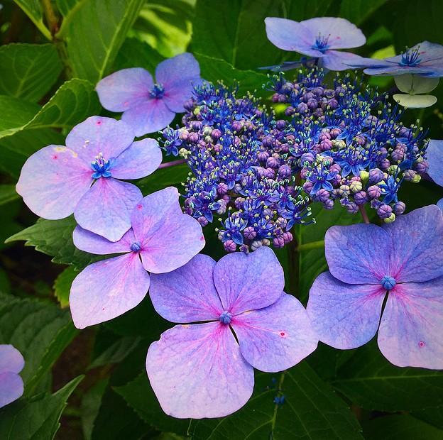 八月の紫陽花♪