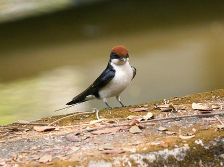 ハリオツバメ(Wire-tailed Swallow) P1170065_RS
