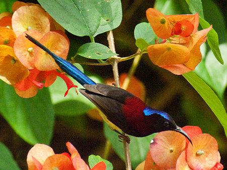 ムナグロタイヨウチョウ(Black-throated Sunbird) IMGP129259_R