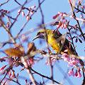 写真: アカハラコノハドリ(Orange_bellied Leafbird) P1100891_R