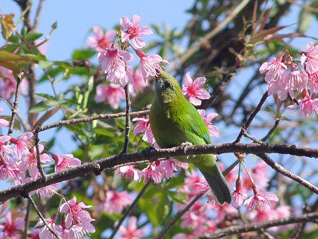 アオバネコノハドリ(Blue-winged Leafbird) P1120931_R