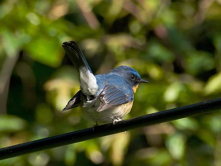 ミヤマヒメアオヒタキ(Hill Blue Flycatcher) IMGP101997_R