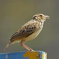 写真: チャバネヤブヒバリ(Rufous-winged Bushlark) P1040539_R