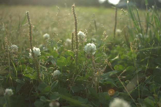 Fields of Clover.