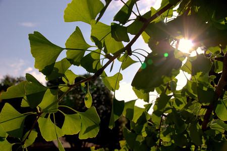 Gingko Leaf Rag
