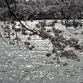 Photos: 鹿沼錦鯉公園